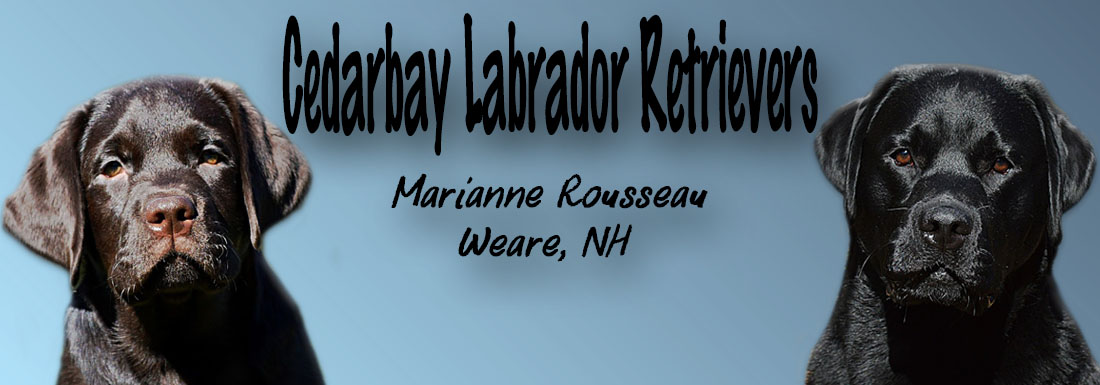 Cedarbay Labrador Retrievers New Hamphsire Breeders Breeder Lab Labradors Labs Puppies Chocolate Black